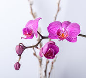 Pink streaked orchid flower, Stock Photography