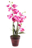 Pink streaked orchid flower. Isolated on white background Stock Photo
