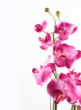 Pink streaked orchid flower. Isolated on white background Stock Photos