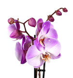 Pink streaked orchid flower, isolated Royalty Free Stock Photo