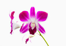 Pink streaked orchid flower, isolated Stock Photo