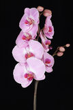 Pink streaked orchid flower (Phalaenopsis) Royalty Free Stock Photos