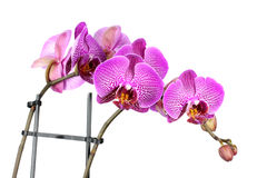 Pink streaked orchid flower!! Royalty Free Stock Image