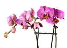 Pink streaked orchid flower! Royalty Free Stock Photography