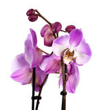 Pink streaked orchid flower Royalty Free Stock Photography