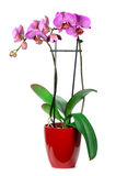 Pink streaked orchid flower!!! Stock Photography