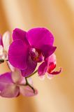 Pink streaked orchid flower on a yellow background Stock Photo