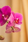 Pink streaked orchid flower on a yellow background Stock Photography