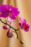 Pink streaked orchid flower on a yellow background Stock Images