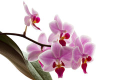 Pink streaked orchid flowers Royalty Free Stock Photos