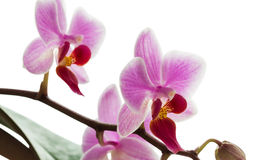 Pink streaked orchid flowers, isolated on white background Stock Photo