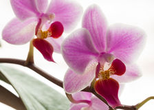 Pink streaked orchid flowers Royalty Free Stock Photography