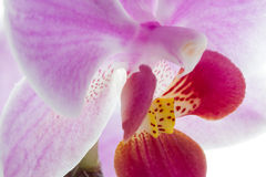 Pink streaked orchid flowers Stock Photos