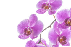 Pink streaked orchid flowers Royalty Free Stock Photo