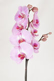 Pink streaked orchidea Stock Images
