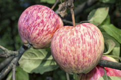Pink striped apples on apple tree. The apple tree (Malus domestica) is a deciduous tree in the rose family best known for its sweet, pomaceous fruit, the apple stock photo