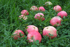 Pink striped apples on the green grass Royalty Free Stock Photography