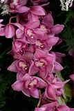 Pink striped orchid flowers for a wonderful gift. Beautiful pink striped orchid flowers on a branch for a wonderful gift royalty free stock photo