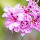 Pink, striped pelargonium, geranium stock photo