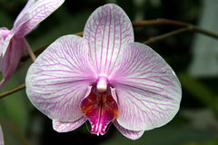 Pink striped phalaenopsis orchid Royalty Free Stock Photography