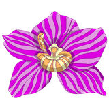 Pink striped phalaenopsis. vector illustration. Drawing by hand. Royalty Free Stock Image