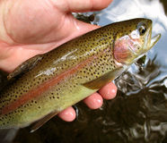 Pink Striped Rainbow. Photo of rainbow trout caught in a northern Maryland stream stock photo