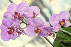 Pink stripped orchid close up branch flowers, isolated on bokeh Royalty Free Stock Images