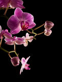 Pink stripy backlit phalaenopsis orchid Stock Photography