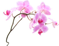 Pink stripy phalaenopsis Stock Image