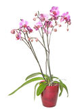 Pink stripy phalaenopsis. Pink ,stripy phalaenopsis orchid in a glass pot, isolated on white stock images