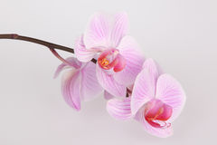 Pink stripy phalaenopsis orchid Royalty Free Stock Photos