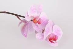 Pink stripy phalaenopsis orchid Royalty Free Stock Photos
