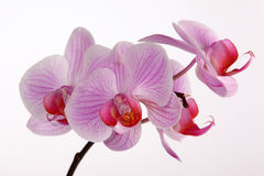 Pink stripy phalaenopsis orchid. Orchid isolated on the grey background Stock Photo