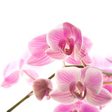 Pink stripy phalaenopsis orchid Royalty Free Stock Photography