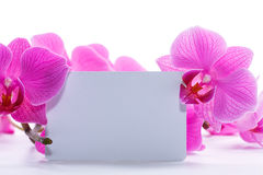 Pink stripy phalaenopsis orchid Royalty Free Stock Images