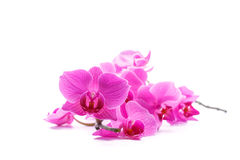 Pink stripy phalaenopsis orchid Stock Images
