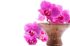 Pink stripy phalaenopsis orchid. Isolated on white royalty free stock images