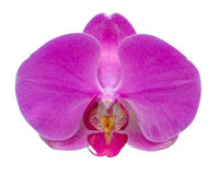 Pink stripy phalaenopsis orchid isolated on white Royalty Free Stock Images