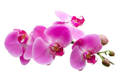 Pink stripy phalaenopsis orchid isolated on white. Background Royalty Free Stock Photo