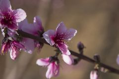 Pink and stunning Peach blossom. Branches Stock Photo