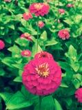 Pink Summer Flower Garden stock images