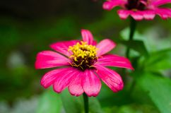 Pink Summer Flower In The Morning royalty free stock images