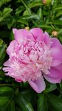 Pink summer flower royalty free stock photos