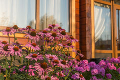 Pink summer flowers. On a background of the windows of a country cottage home, lit by the morning sun stock photo