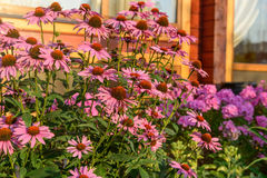 Pink summer flowers. On a background of the windows of a country cottage home, lit by the morning sun royalty free stock photography