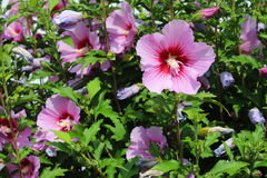 Pink summer flowers Stock Image