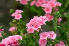 Pink summer garden flowers Stock Photos
