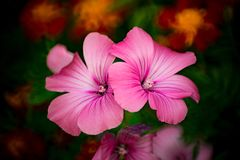 Pink summer plant Lavater royalty free stock images