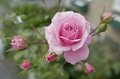 Pink summer rose with buds Stock Photography