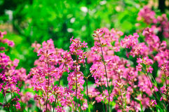 Pink summer wildflowers on meadow Stock Images